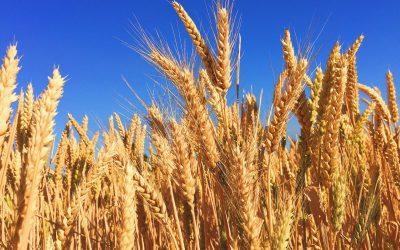 Sovecon erwartet geringeren russischen Weizenexport