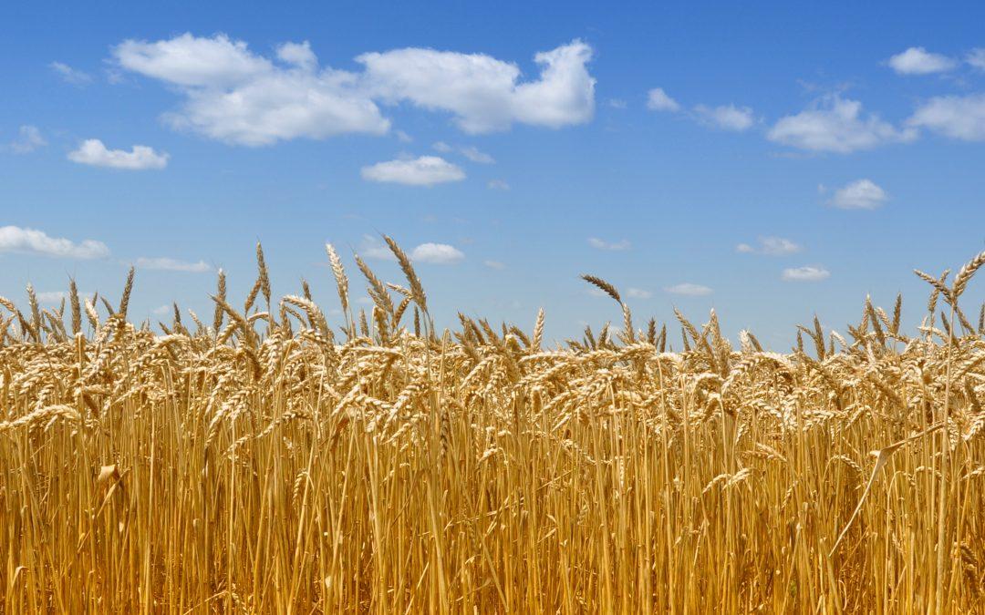 Das BMEL rechnet im Erntebericht mit einer Produktionsmenge von 21 Mio. t Winterweizen