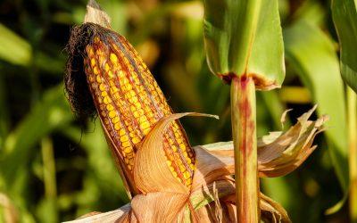 MATIF Maispreise mit erstem Verlust seit 14 Handelstagen